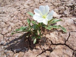 896673_desert-flower_620